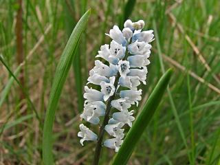hyacinthella_leucophaea_-_zambilele_salbatice