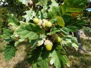 stejarul-pufos-quercus-pubescens